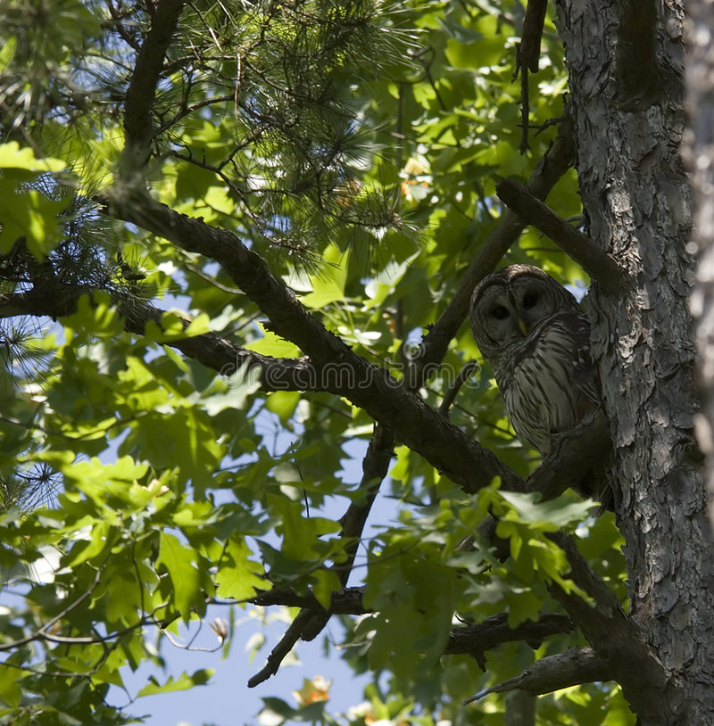 猫头鹰森林 库存图片