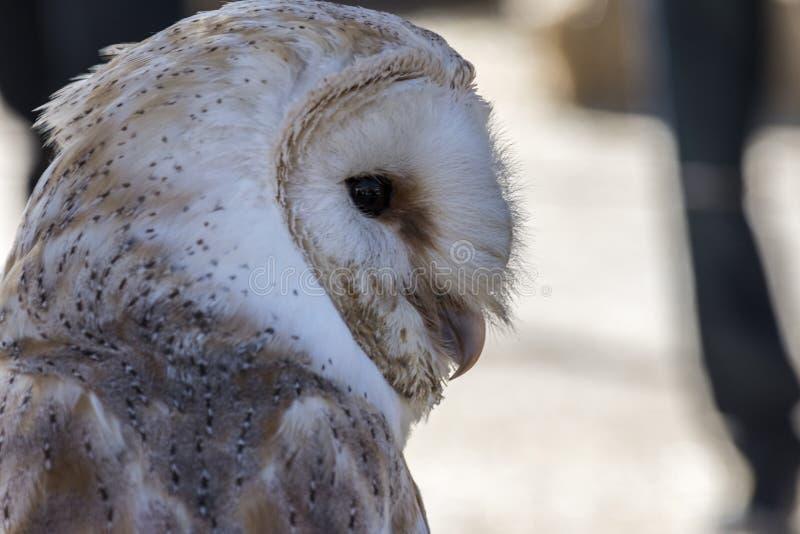 猫头鹰猎鹰训练术面孔 免版税库存照片