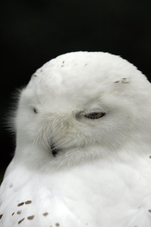 猫头鹰雪 免版税库存图片