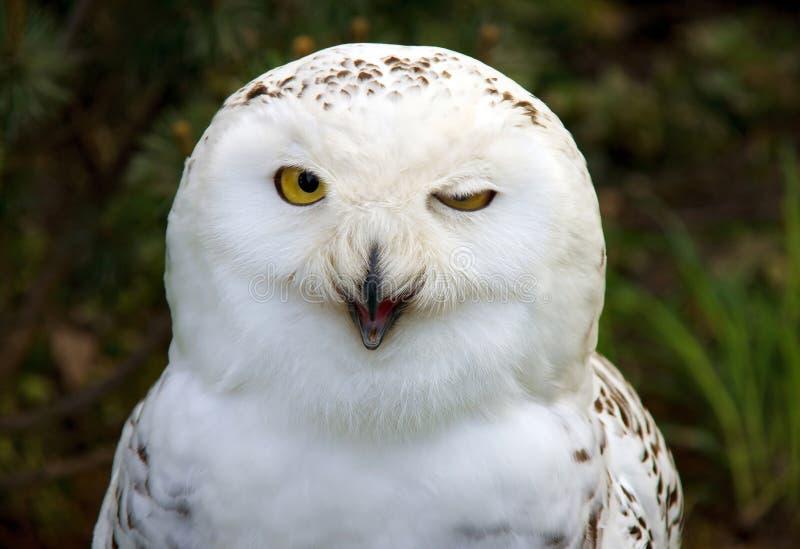 猫头鹰雪 库存图片