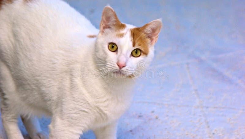 猫好奇橙色白色 库存图片