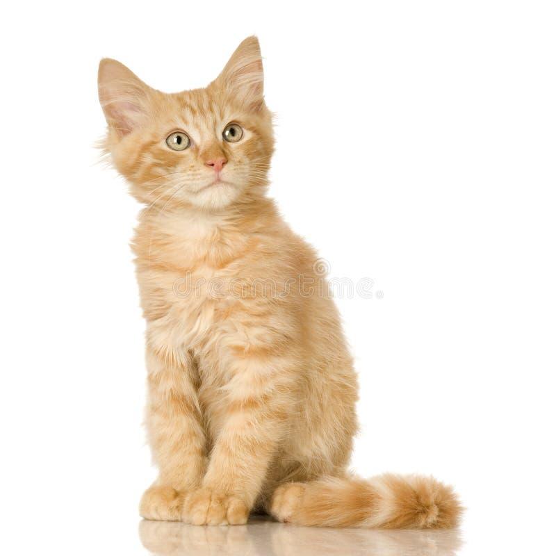 猫姜小猫 库存照片