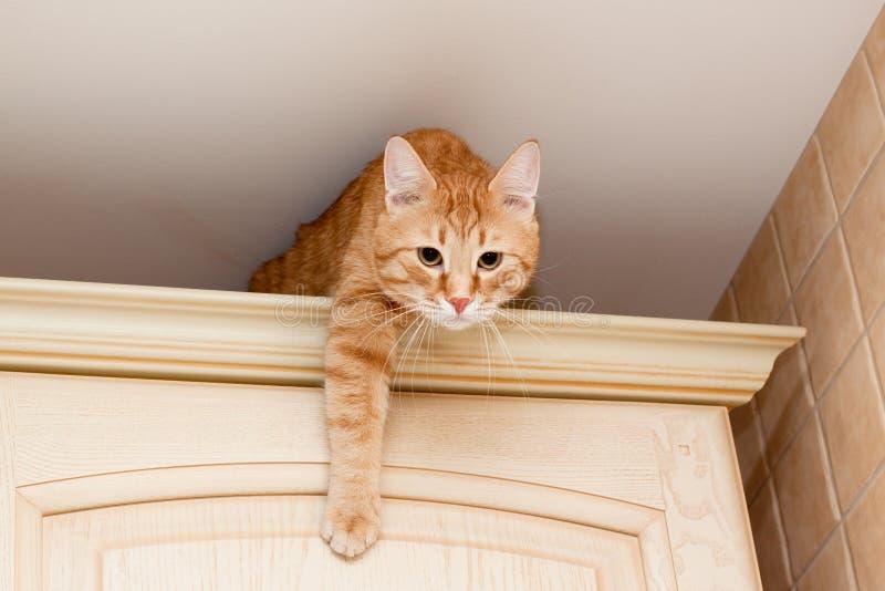 猫姜平纹 免版税图库摄影