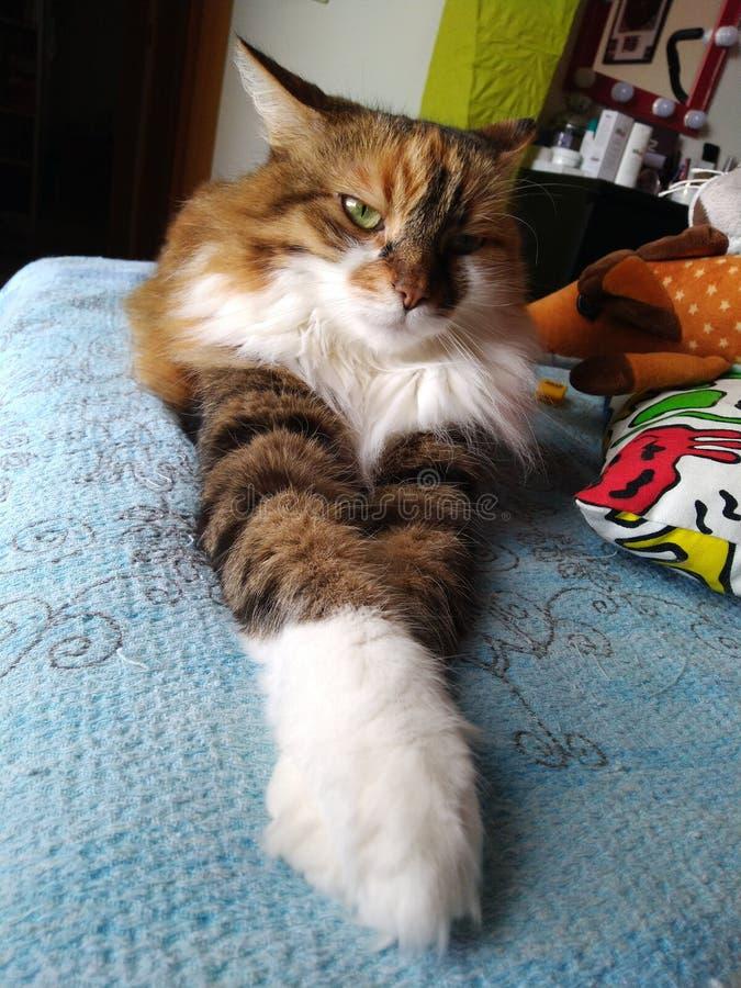 猫姿势 库存图片