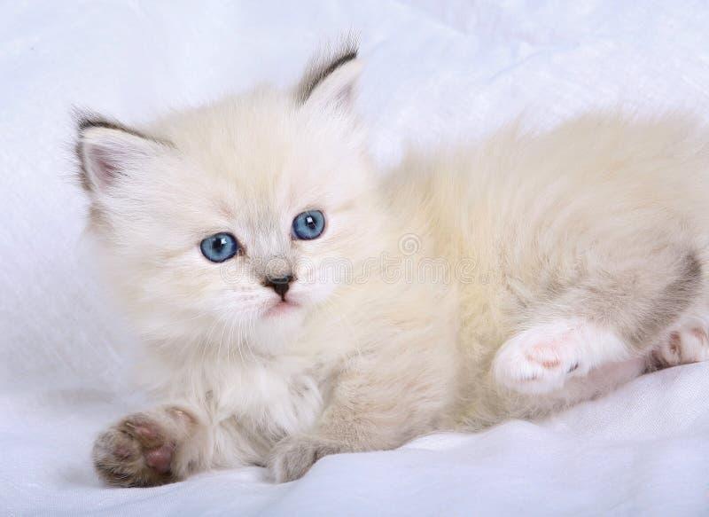 猫小猫化妆舞会neva 免版税库存照片