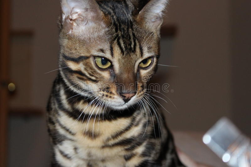 猫小猫孟加拉 库存照片