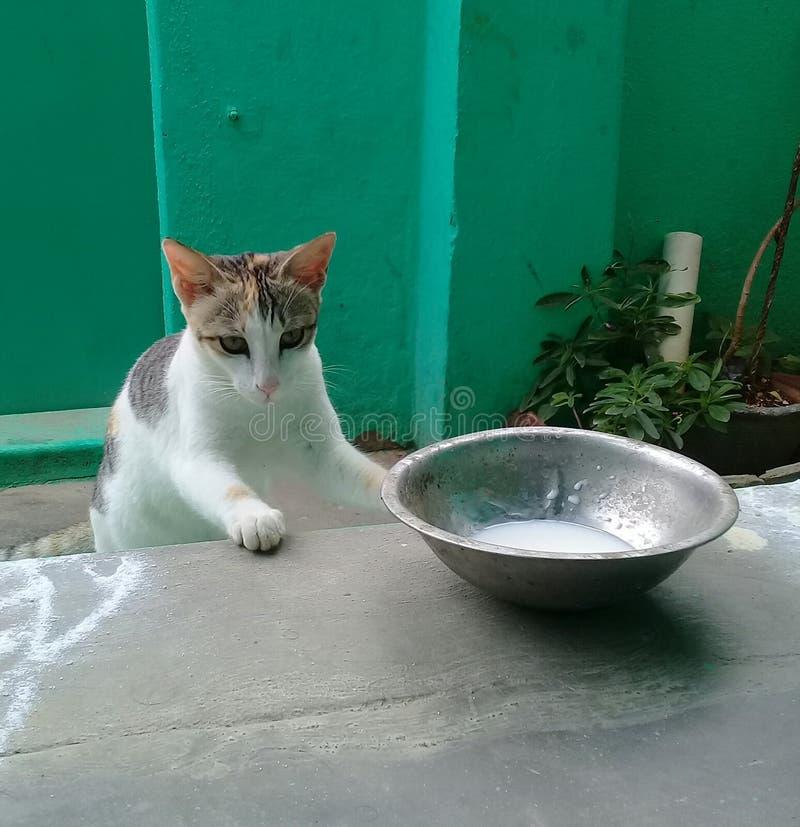 猫小猫来临在家喝牛奶 库存照片