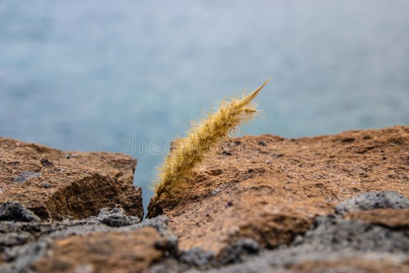 猫尾巴草在岩石之间的狼尾草setaceum,特内里费岛,加那利群岛,西班牙-图象 图库摄影