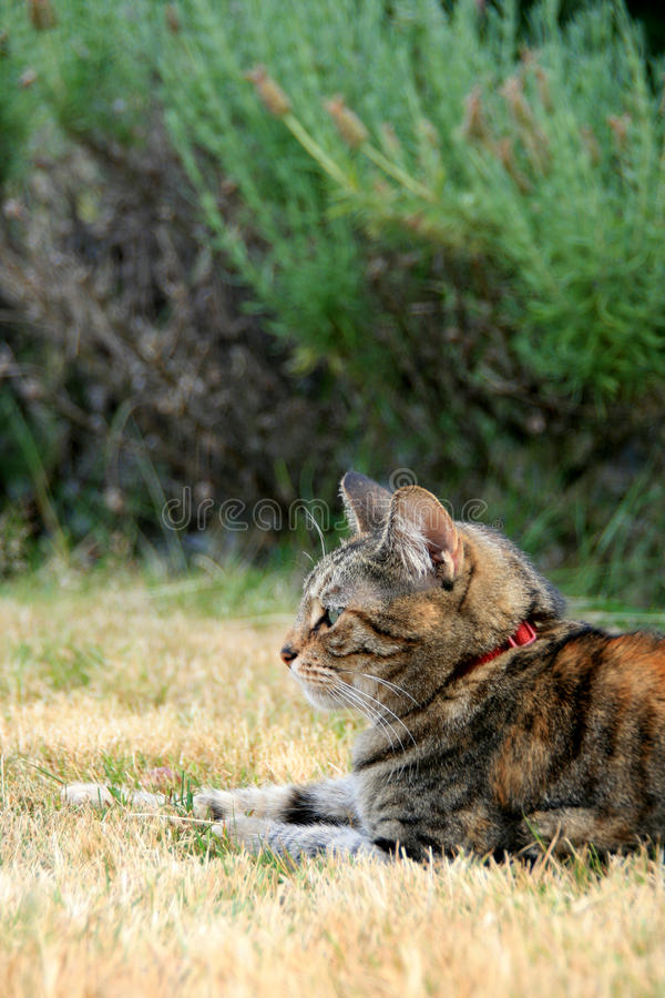 猫平纹 库存照片