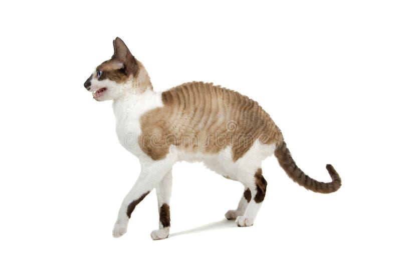 猫康沃尔rex 库存照片