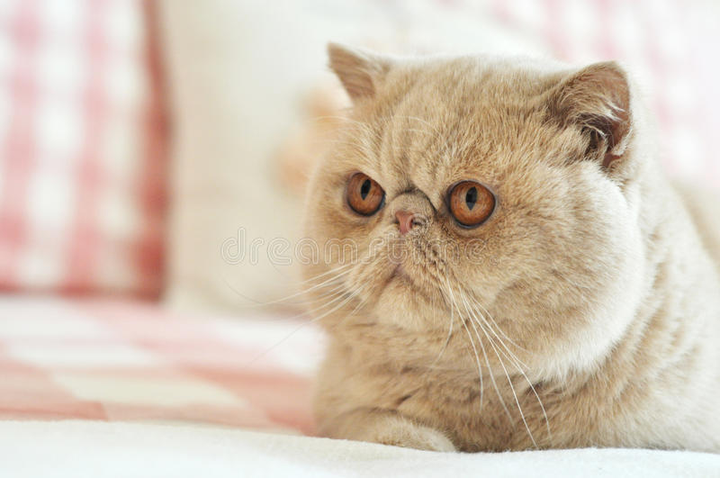 猫异乎寻常的shorthair 库存图片