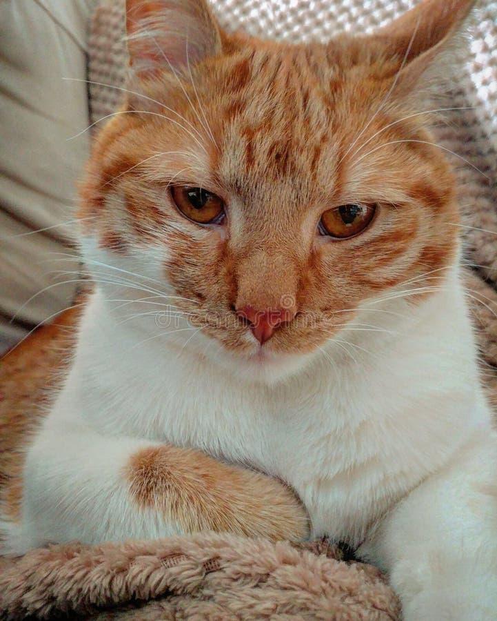 猫当局 免版税库存图片