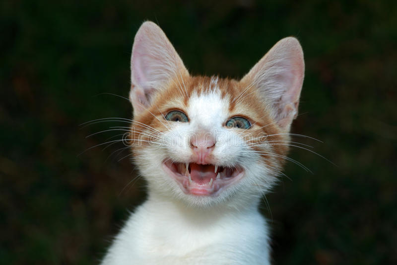 猫微笑 免版税库存照片