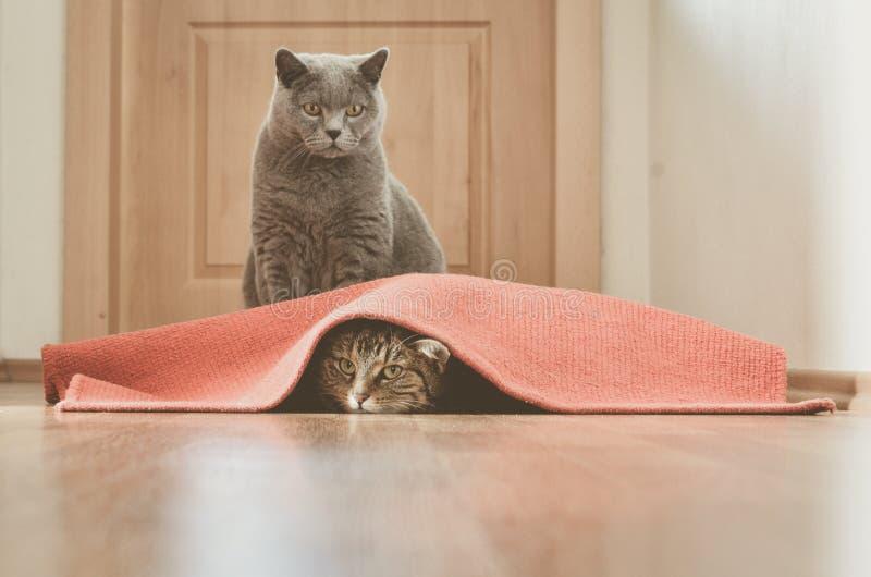 猫戏剧 库存照片