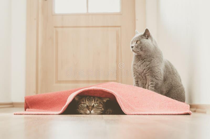 猫戏剧 免版税库存图片