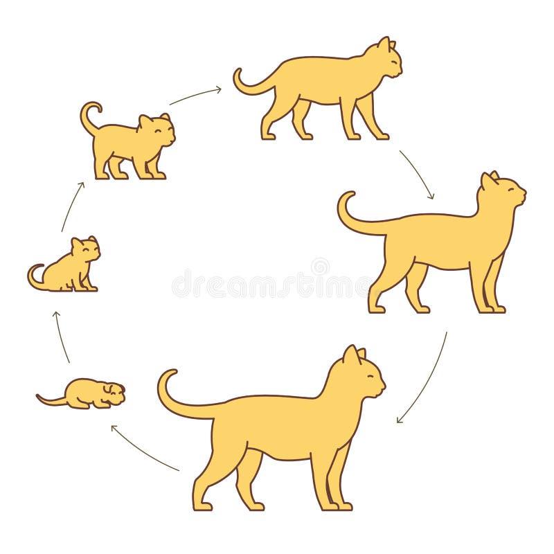 猫成长集合圆的阶段  从小猫到成人猫 动物宠物 猫长大动画进步 圈子宠物生命周期 皇族释放例证