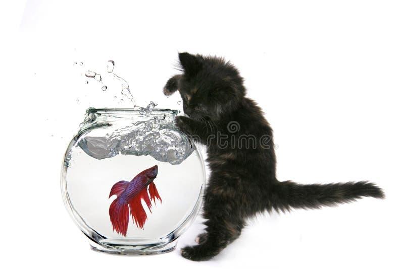 猫抓住滑稽对尝试 免版税库存照片