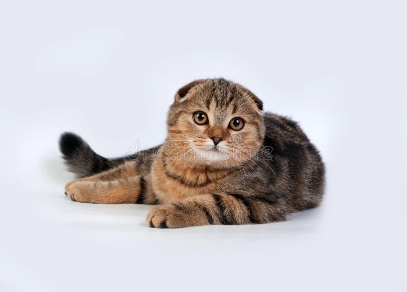 猫折叠苏格兰人 免版税库存图片