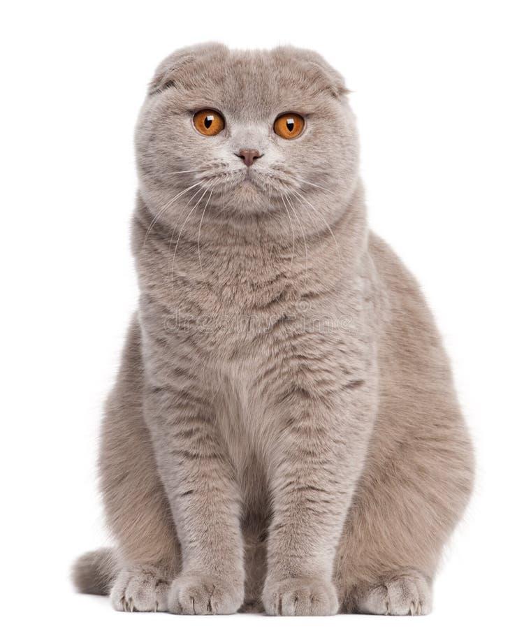 猫折叠苏格兰人 免版税图库摄影