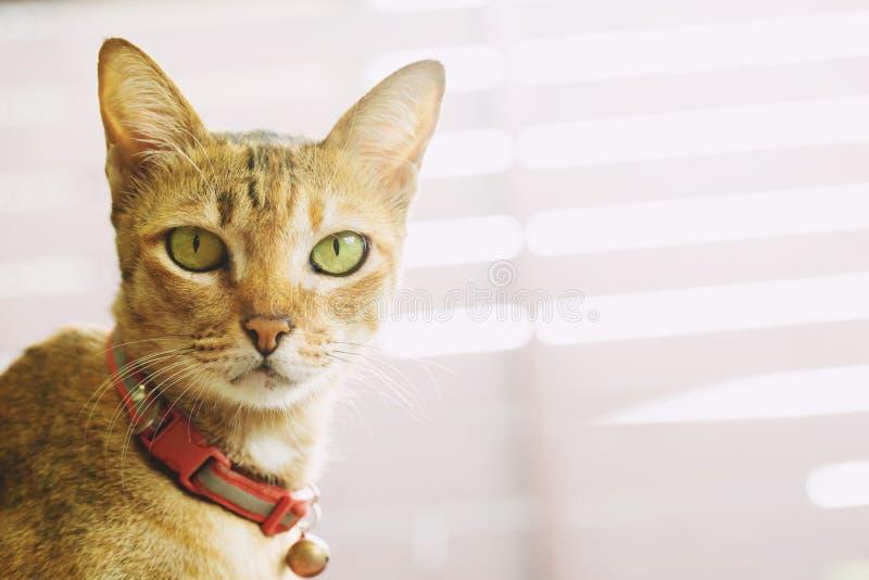 猫捉住与红色脖子的响铃 半眯着眼睛看面孔的看起来 看的眼睛直接 免版税库存照片