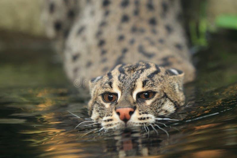猫捕鱼游泳 库存照片