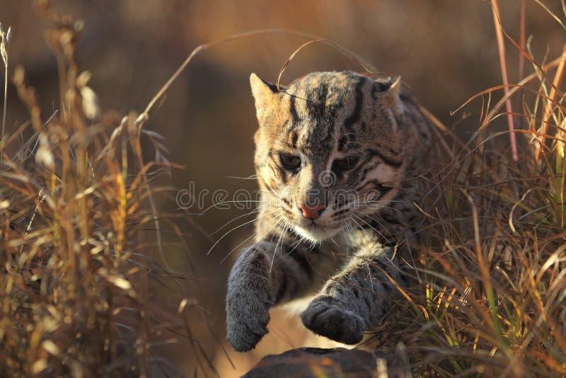 猫捕鱼运行中 库存图片