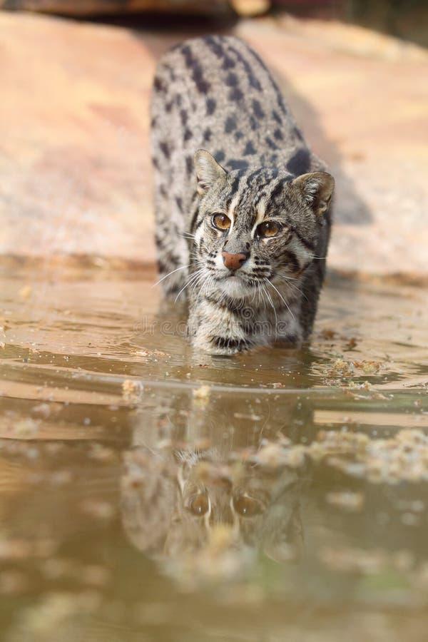 猫捕鱼 库存照片