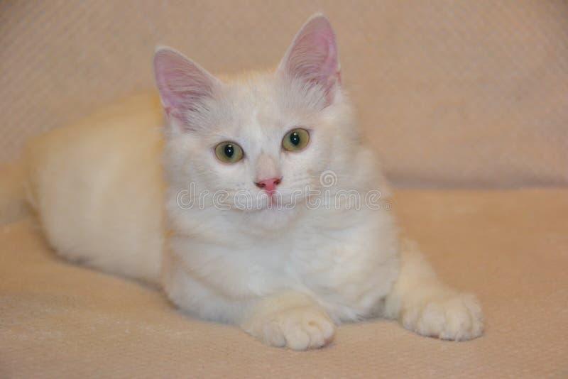 猫摆在 免版税库存照片