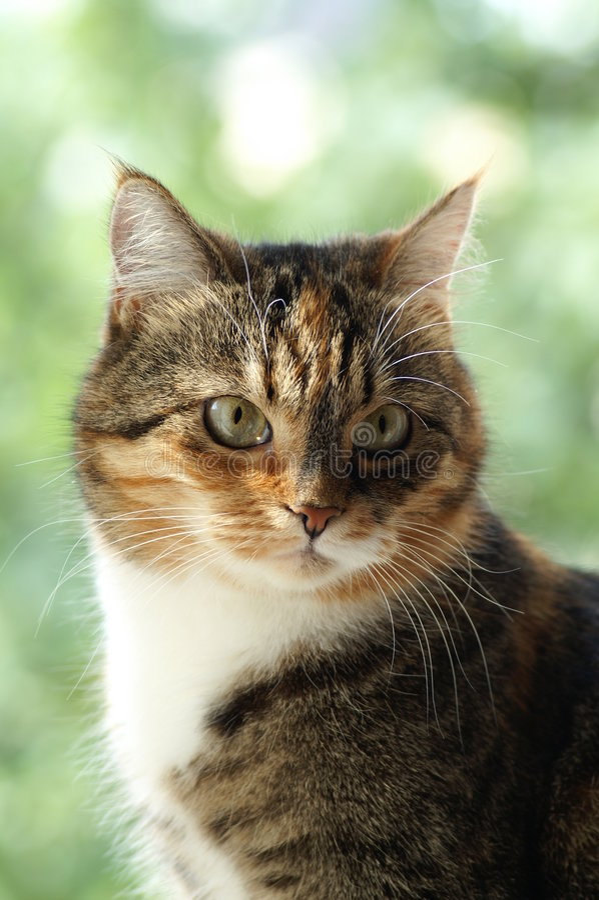 猫正常 免版税库存图片