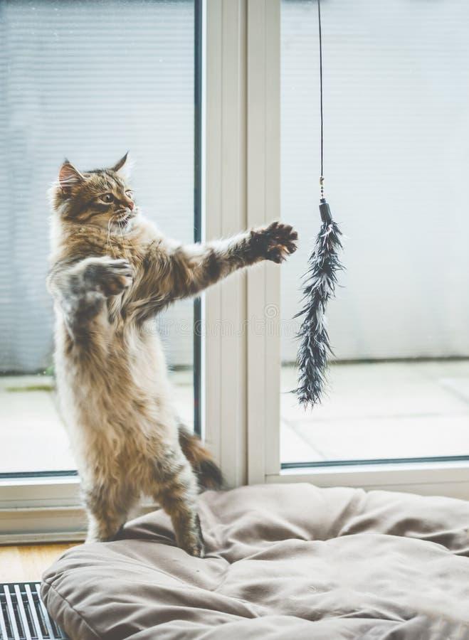 猫比赛 滑稽的蓬松小猫在它的后腿站立,并且与一只垂悬的猫的戏剧戏弄在窗口 免版税库存照片