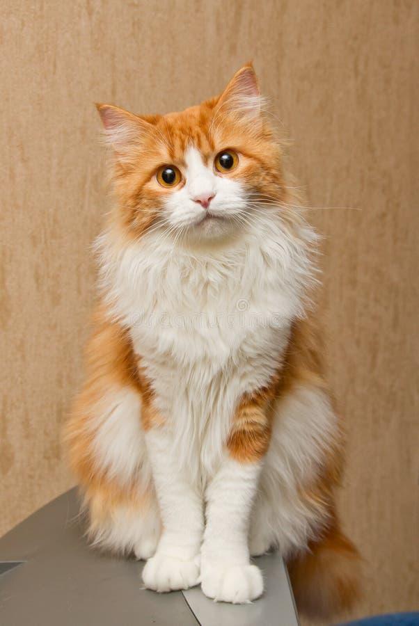 猫毛茸的红色 库存图片