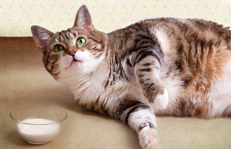 猫油脂牛奶 图库摄影