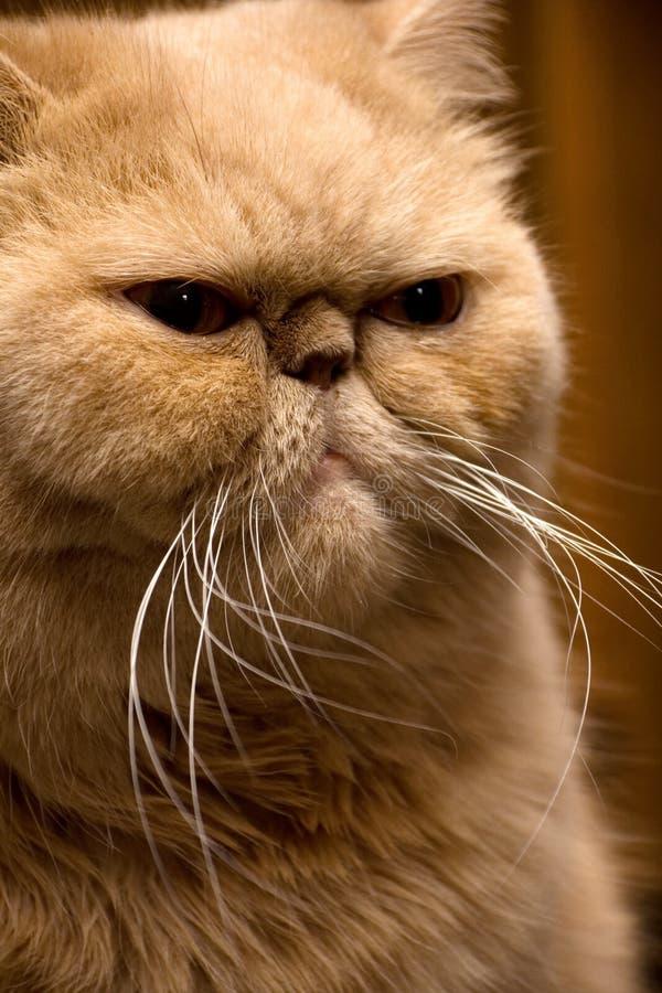 猫波斯红色 免版税库存照片