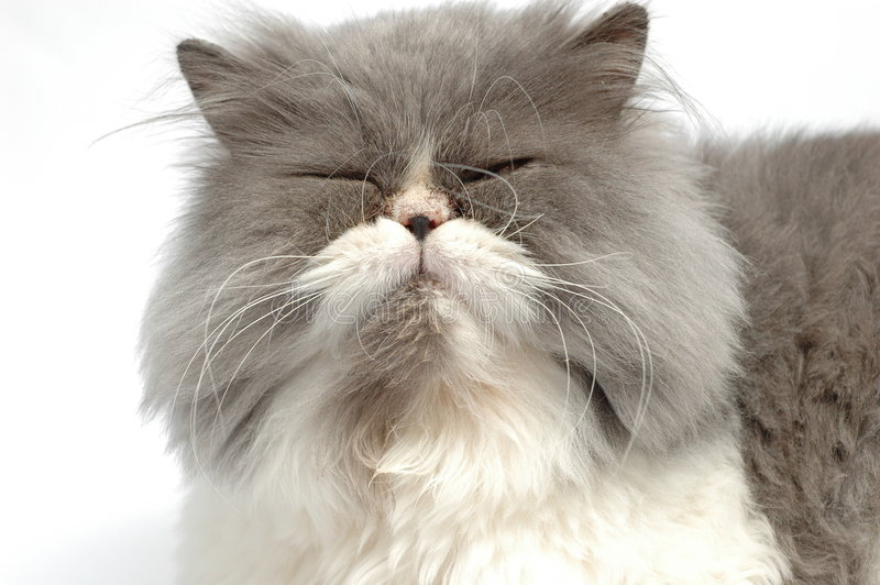 猫波斯语 免版税库存照片
