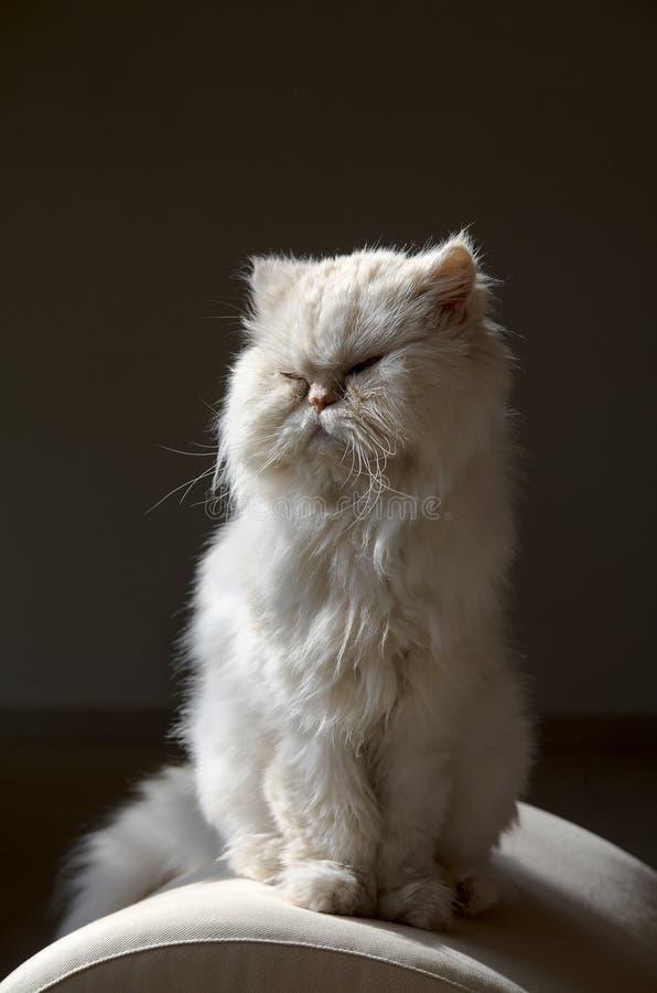 猫波斯语 免版税图库摄影