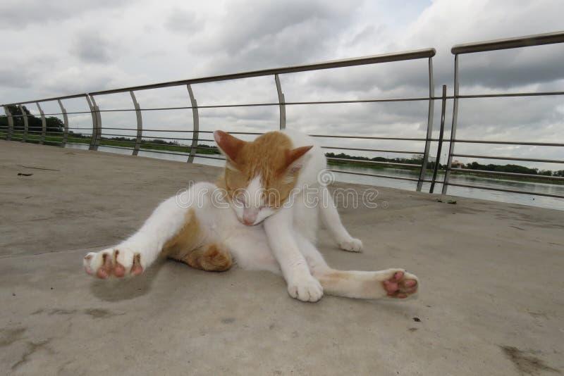 猫清洗他们的身体 - 在沼泽附近的庭院里 免版税图库摄影