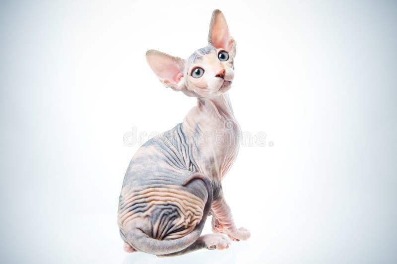 猫滑稽的狮身人面象 图库摄影