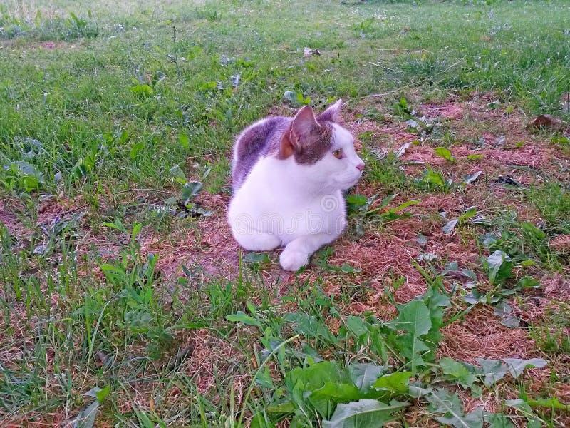 猫白色平纹谎言和歇息在草在树荫下 免版税库存照片