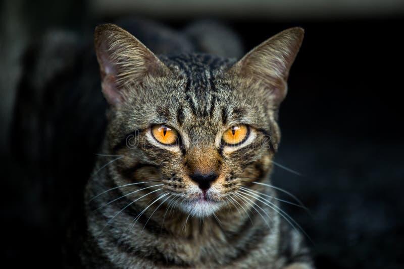 猫的黄色,当看见受害者,猫在黑暗的夜时 免版税库存照片