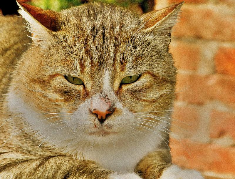 猫眼自然野生动物 免版税图库摄影
