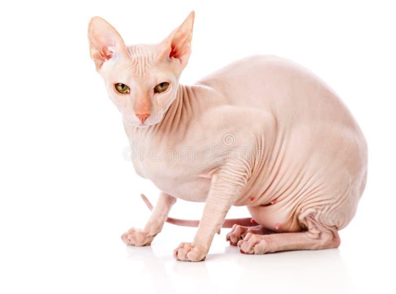 猫穿上donsphinx狮身人面象 免版税图库摄影