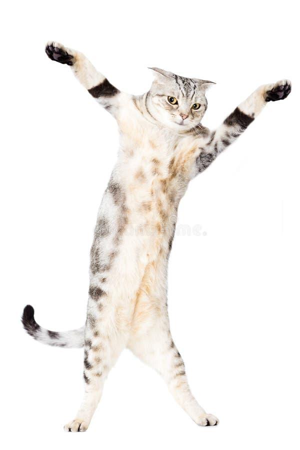 猫站立并且跳舞 免版税库存照片