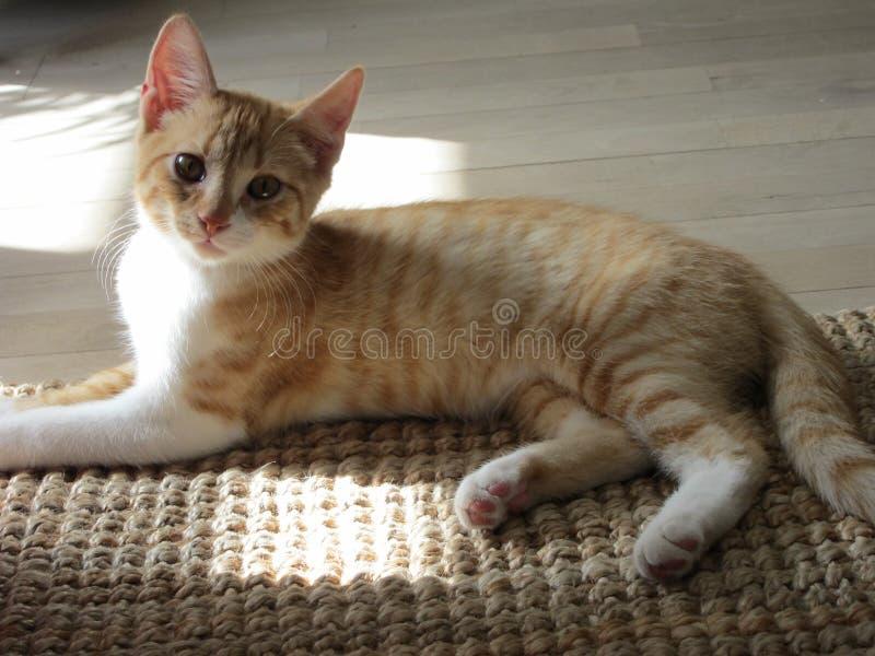 猫红色白色 免版税图库摄影