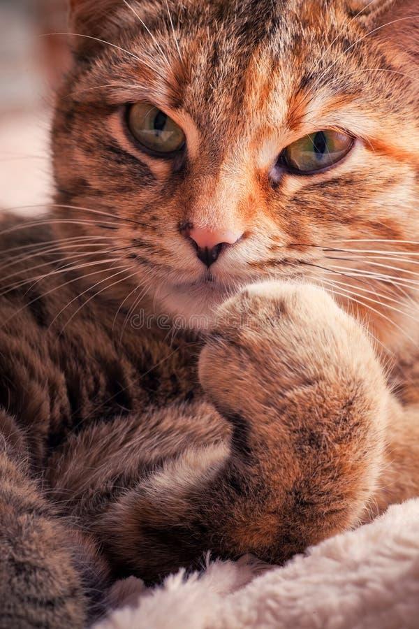猫纵向平纹 库存图片
