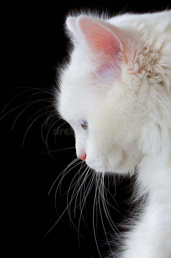 猫纵向白色 库存图片