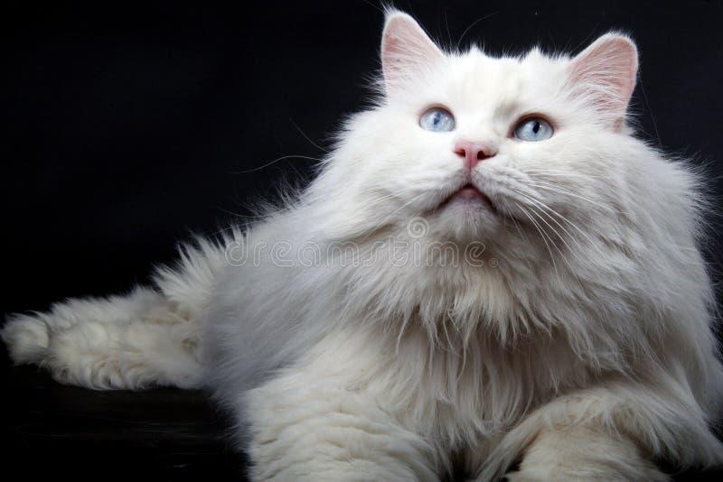 猫老纵向 免版税库存图片