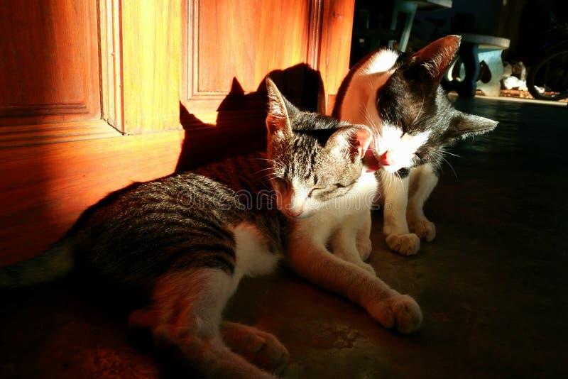 猫舔了它的朋友 免版税库存照片