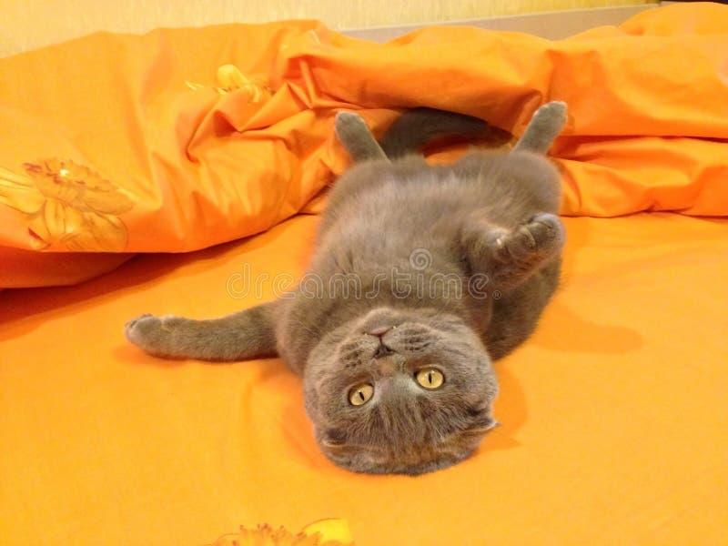 猫苏格兰人折叠在床上 免版税库存照片