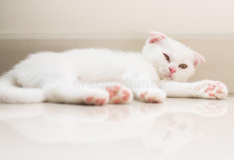猫苏格兰白色蓬松逗人喜爱在地板上的一点动物 图库摄影