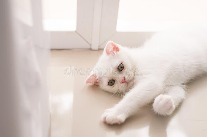 猫苏格兰白色蓬松逗人喜爱的小的动物在家 免版税图库摄影